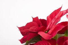 Red flower for christmas gifts Stock Image