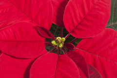 Red flower of Christmas Poinsettia, close up Stock Image