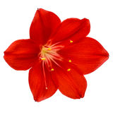 Red flower of Clivia, closeup, isolated on white background Royalty Free Stock Images