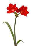 Red flower of Clivia, isolated on white background Stock Images