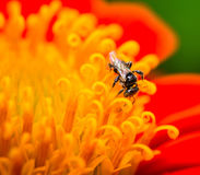 Red flower. Close up of bee on flower pollen Royalty Free Stock Images