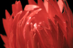 Red flower. Close up of a red cactus flower royalty free stock photography
