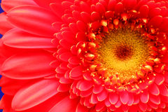 Red  flower close up Royalty Free Stock Photo
