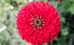 Red flower close up Royalty Free Stock Image