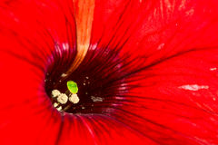 Red flower close-up Royalty Free Stock Photography