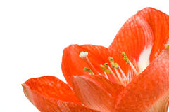 Red flower closeup Royalty Free Stock Photo