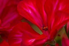Red flower closeup Stock Photos