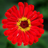 Red Flower closeup Royalty Free Stock Images