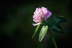 Red flower clover Stock Photo