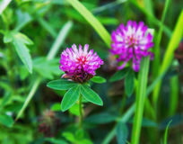 Red flower clover Stock Photo