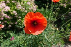 Red flower of common poppy. In June Royalty Free Stock Image