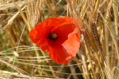 Red flower. Corn field with red flower in summer time Stock Photography