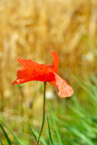 Red flower. Corn field with red flower in summer time Royalty Free Stock Photo