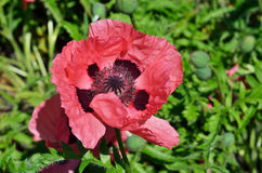 Red flower of cultivated poppy Royalty Free Stock Images