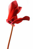 The red flower of cyclamen Stock Image