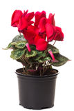 Red flower of cyclamen Royalty Free Stock Images