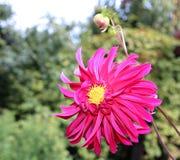 Red flower dahlia in garden Royalty Free Stock Photos