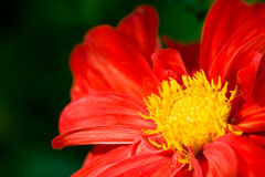 Red flower of dahlia with yellow center Stock Photos
