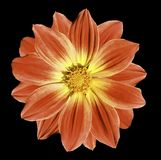 Red flower daisy on the black isolated background with clipping path. Closeup. Stock Image