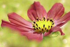 Red flower daisy on a light green blurred  background. Closeup. Soft focus. Stock Photography