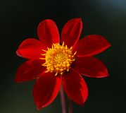 Red Flower on a Dark Background. A red flower with a yellow center on dark background Royalty Free Stock Photography