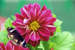 Red flower and darkenning butterfly. On green background stock images