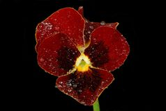 Red violet in drops of dew on a black background stock photo