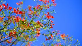 Red flower Delonix regia with blue sky Stock Photo