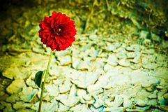 Red Flower in the Desert. A red flower growing in the dry desert Stock Images
