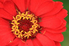 Red flower detail Royalty Free Stock Image