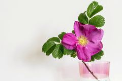 Red flower of a dog rose in glass vase Stock Photos