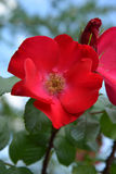 Red flower of dog rose Royalty Free Stock Photography