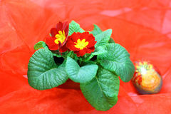 Red flower and Easter egg. Red flower Primrose and Easter egg in the background on a red background Stock Images