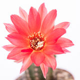 Red flower of a echinopsis cactus Royalty Free Stock Image