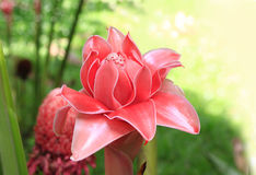 Red flower of etlingera elatior Royalty Free Stock Photos