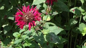 Red Bee Balm Flower Royalty Free Stock Images