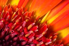 Red flower - extreme macro Royalty Free Stock Photo