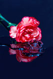 Red flower fall in water Royalty Free Stock Photography