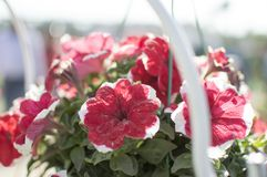 Red flower in farm for sale Royalty Free Stock Images