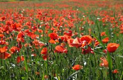 Red Flower Field Stock Images