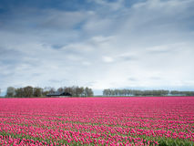 Red Flower Field Royalty Free Stock Photography