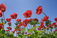 Red flower field Royalty Free Stock Images