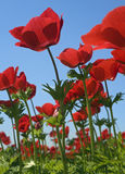 Red flower field. Poppy Anemone in the field from bellow Royalty Free Stock Photo