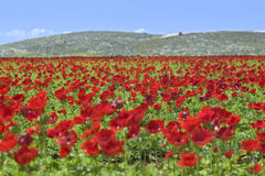 Red flower field. Agricultur field of Poppy Anemone Royalty Free Stock Image
