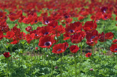 Red flower field. Agriculture field of Poppy Anemone Royalty Free Stock Photo
