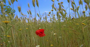Red flower in the field. Feeling alone in the crowd, a red flower single in the field stock footage