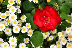 a red flower in a field full of white camomile royalty free stock photo