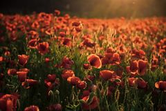 Poppy flower Remembrance Day. Red flower field, narcotics. poppy flower Remembrance Day royalty free stock photo
