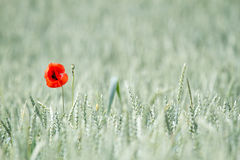 Red flower in field. A single red flower in a wheat field stock photography