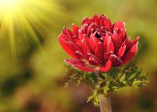 Red flower in field Royalty Free Stock Photos